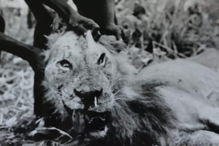 Una fotografía de 1965 de un león fallecido que, debido a una lesión ocasionada por un puercoespín, recurrió a cazar humanos. La punta blanca de la púa de puercoespín es visible en el hocico del león. Imagen cortesía: Julian Kerbis Peterhans, foto de John Perrott
