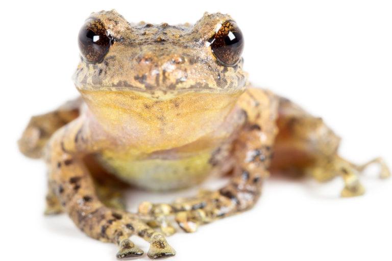Nuevas ranas en Ecuador. P. atillo. Cortesía Santiago Ron y Nadia Páez.