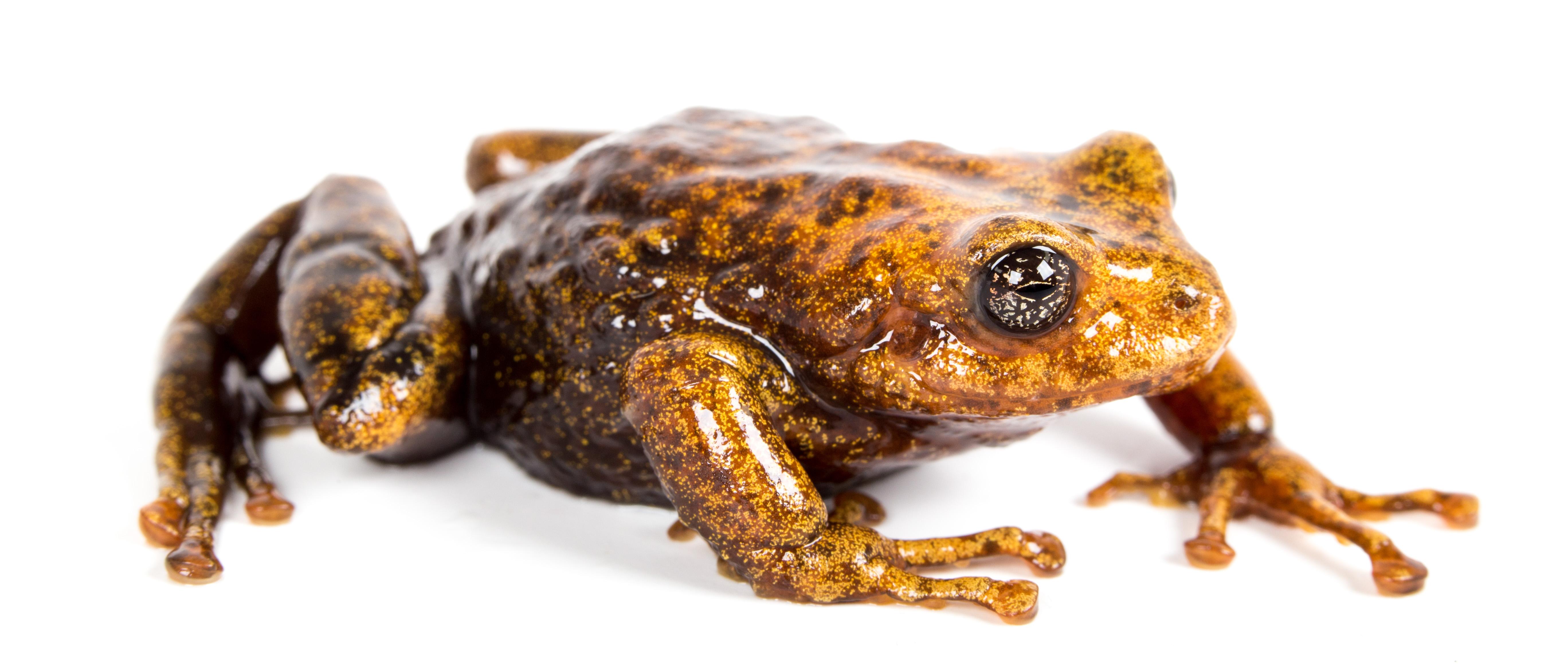 Nuevas ranas en Ecuador. P. chomskyi. Cortesía Santiago Ron y Nadia Páez.