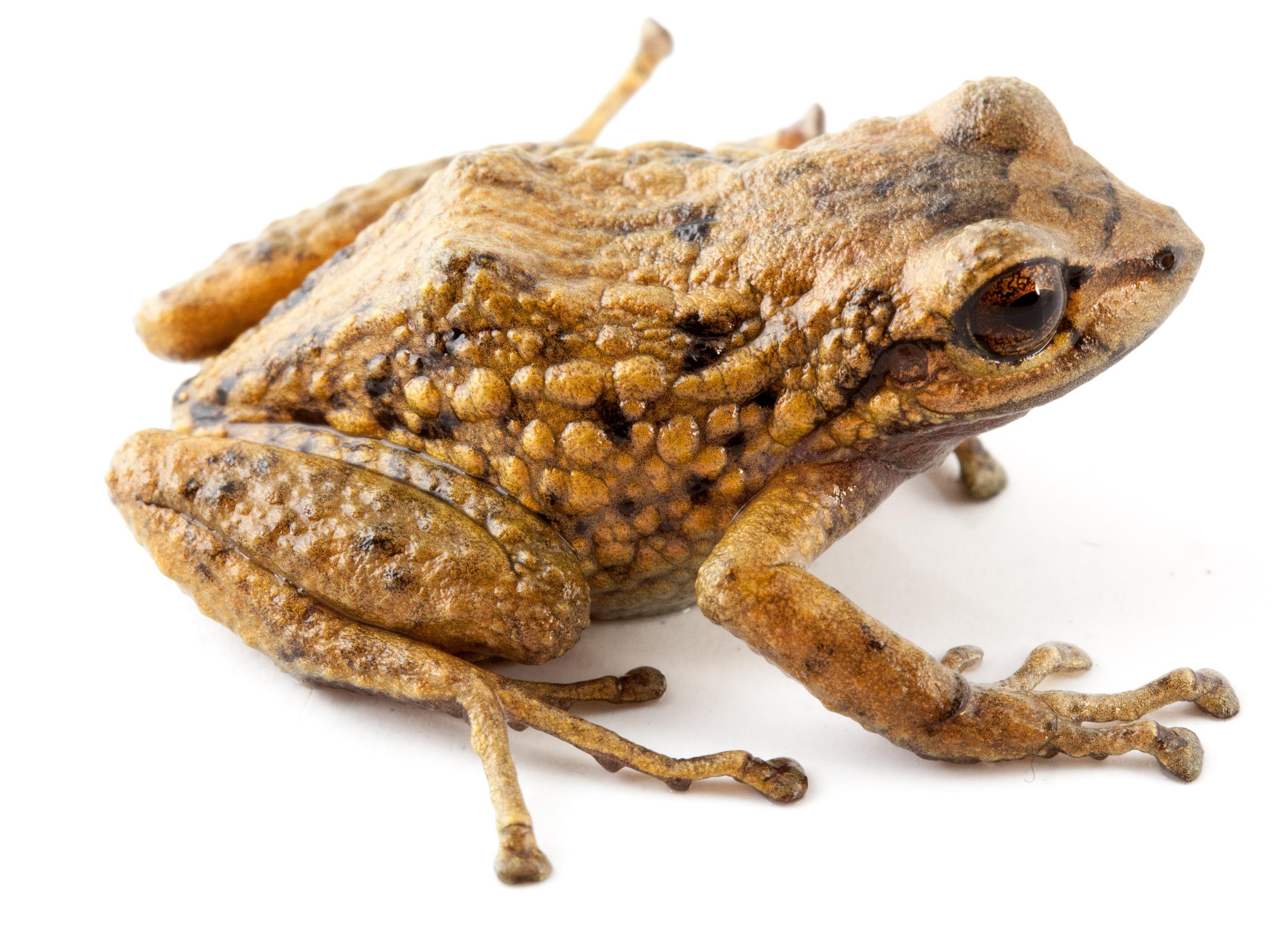 Nuevas ranas en Ecuador. P. verrucolatus. Cortesía Santiago Ron y Nadia Páez.