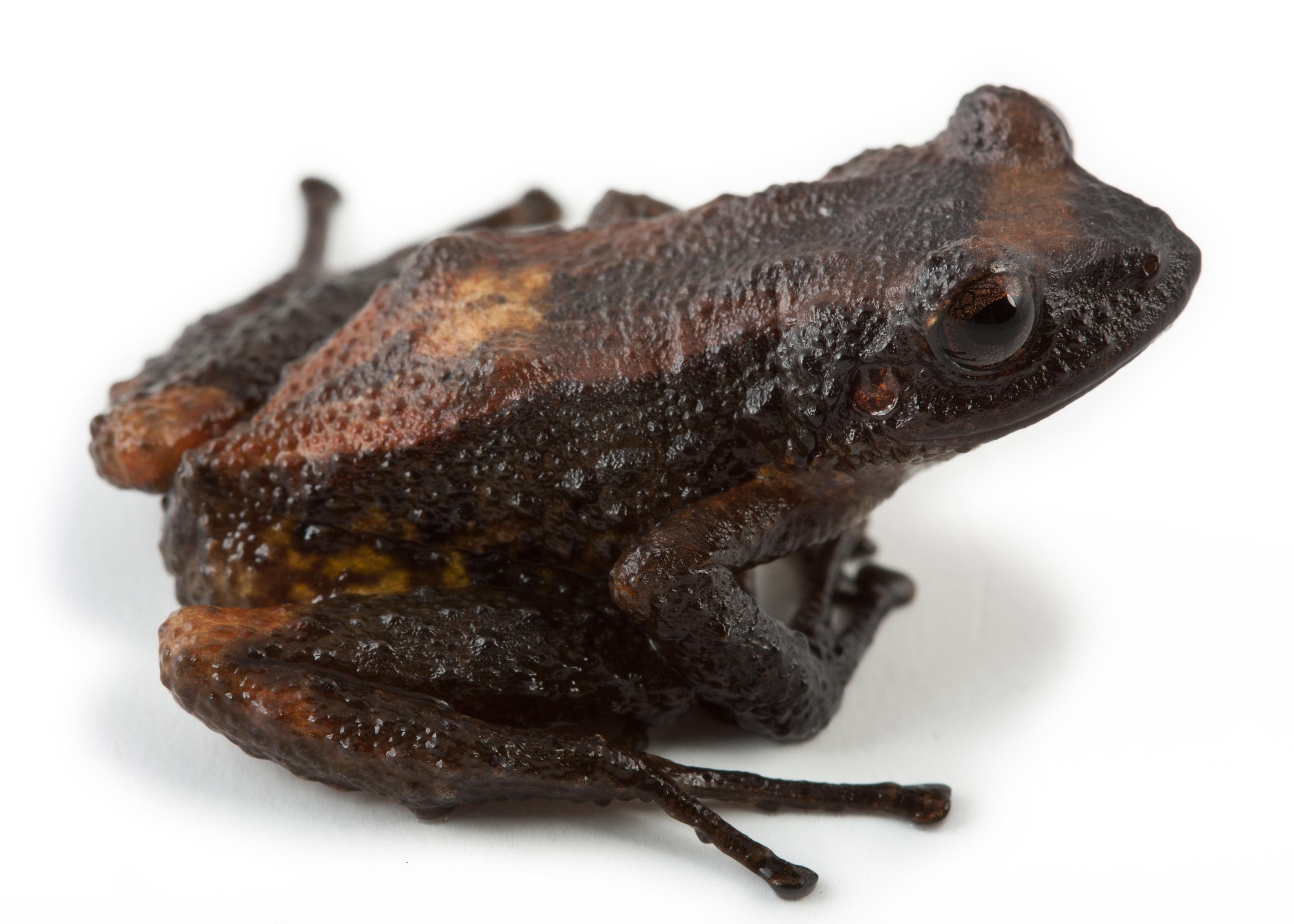 Nuevas ranas en Ecuador. P. teslai. Cortesía Santiago Ron y Nadia Páez.