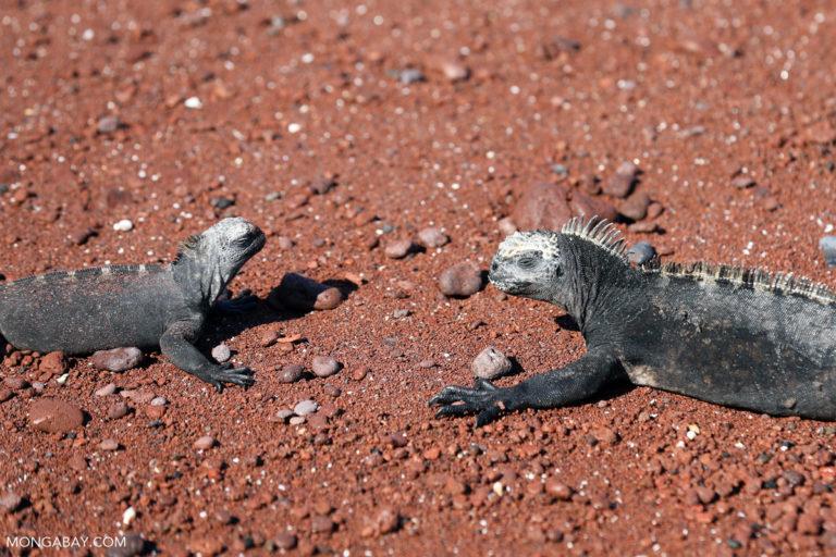 Dos iguanas marinas(Amblyrhynchus cristatus) en playa de la Isla Rábida, en el archipiélago de Galápagos, Ecuador, de donde son endémicas. La especie es Vulnerable a la extinción, debido a especies invasivas, la contaminación y el cambio climático, según la Unión por la Conservación de la Naturaleza (UICN). Foto: Rhett A. Butler / Mongabay