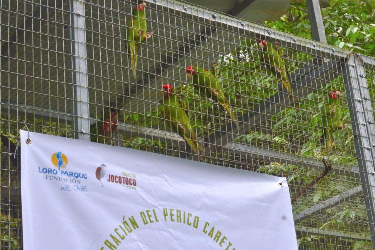 Conservación de aves en Ecuador. El perico caretirrojo es víctima frecuente del tráfico de especies. Foto: Carlos Romero Ramírez