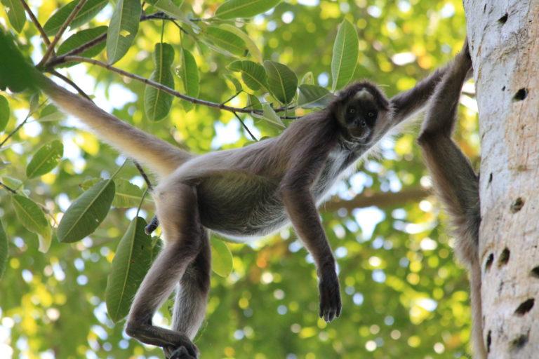 Monos en peligro en Colombia. Bachué, un mono araña café que Andrés Link sigue en el Magdalena medio colombiano. Foto: Federico Pardo.