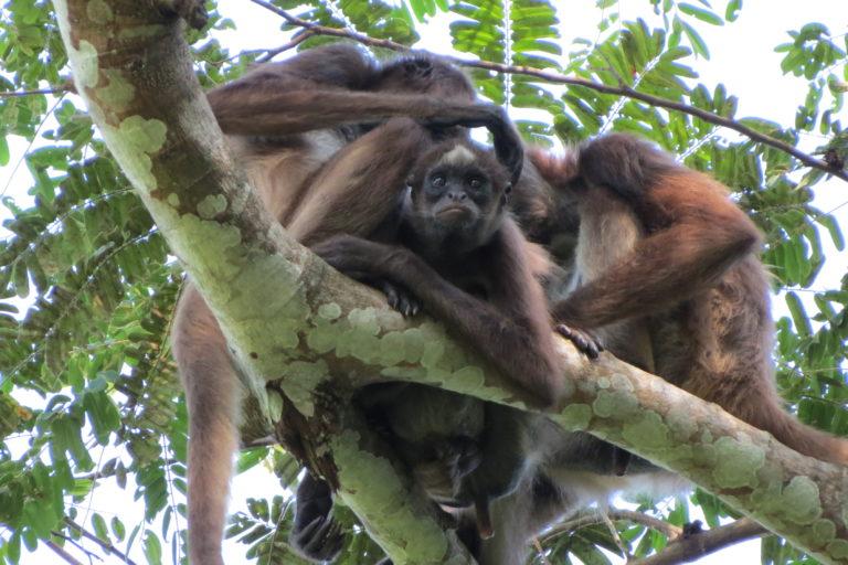 Monos en peligro en Colombia. Monos araña café, marimonda del Magdalena o choibo. Habitan en la cuenca media del río Magdalena en Colombia. Foto: Federico Pardo.