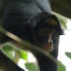 Monos en peligro en Colombia. Aisha, una de las mono araña (Ateles belzebuth) que Andrés Link sigue en la Amazonía ecuatoriana. Foto: Federico Pardo.