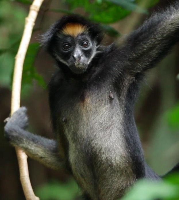 Monos en peligro en Colombia. Luna, una de las mono araña (Ateles belzebuth) que Andrés Link sigue en la Amazonía ecuatoriana. Foto: Federico Pardo.