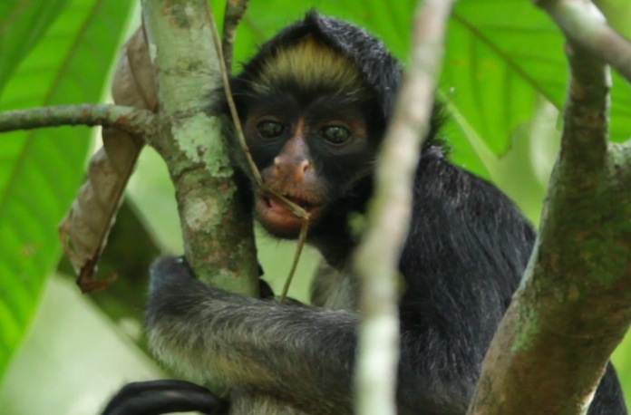 Monos en peligro en Colombia. Nika, una de las mono araña (Ateles belzebuth) que Andrés Link sigue en la Amazonía ecuatoriana. Foto: Federico Pardo.