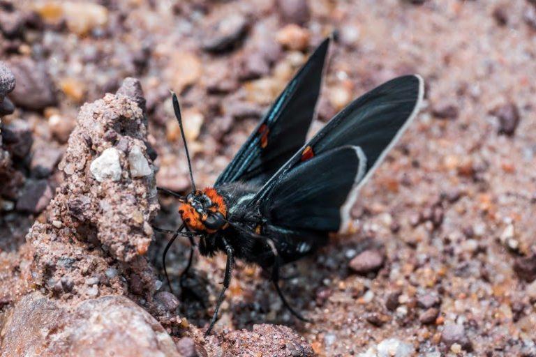 Roberto Vides-Almonacid Los invertebrados, como esta polilla, han sido duramente afectados por el fuego. Foto: Daniel Coimbra.