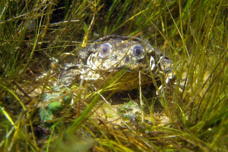 rana gigante del titicaca