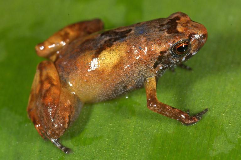 nuevas especies en Perú La Noblella losamigos fue descubierta en la Estación Biológica Los Amigos, en Madre Dios. Foto: Alessandro Catenazzi.