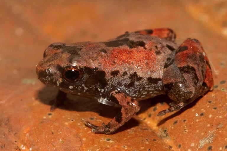 nuevas especies en Perú La investigación sobre la Noblella losamigos fue publicada en la revista científica Diversity. Foto: Alessandro Catenazzi.