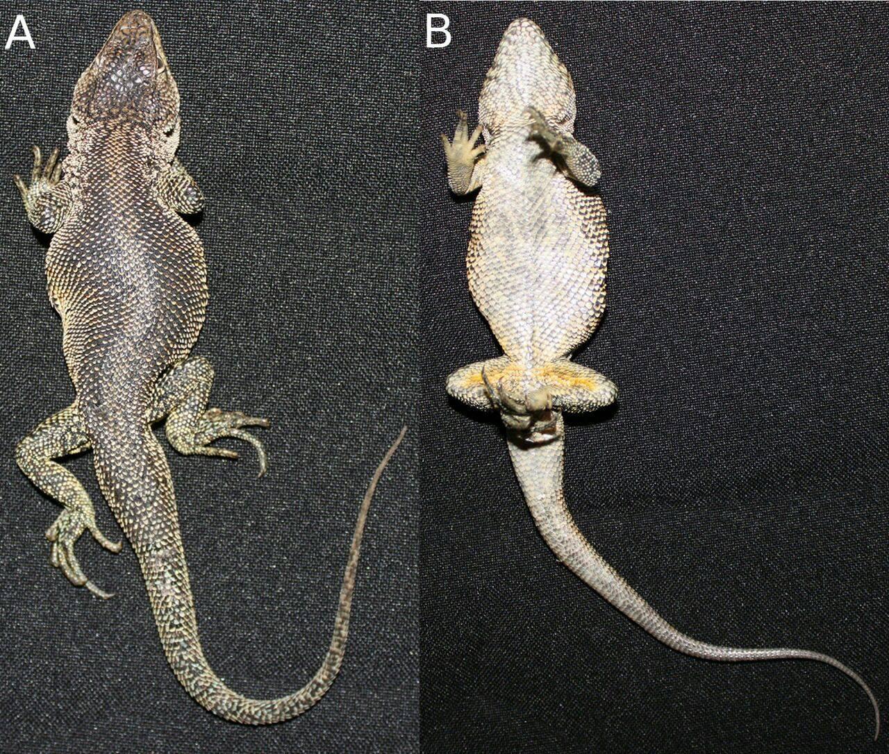 nuevas especies en Perú La Liolaemus victormoralesii lleva ese nombre en homenaje al herpetólogo peruano Víctor Morales. Foto: César Aguilar.