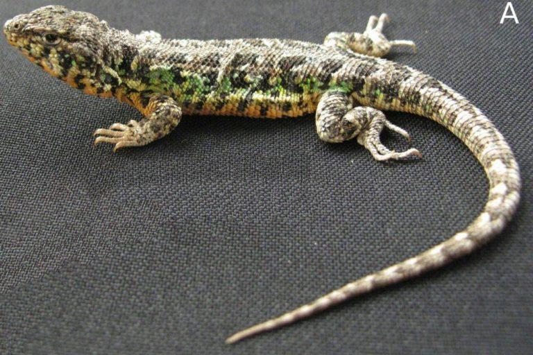 nuevas especies en Perú Liolaemus nazca es una especie de lagartija encontrada en la costa peruana. Foto: César Aguilar.