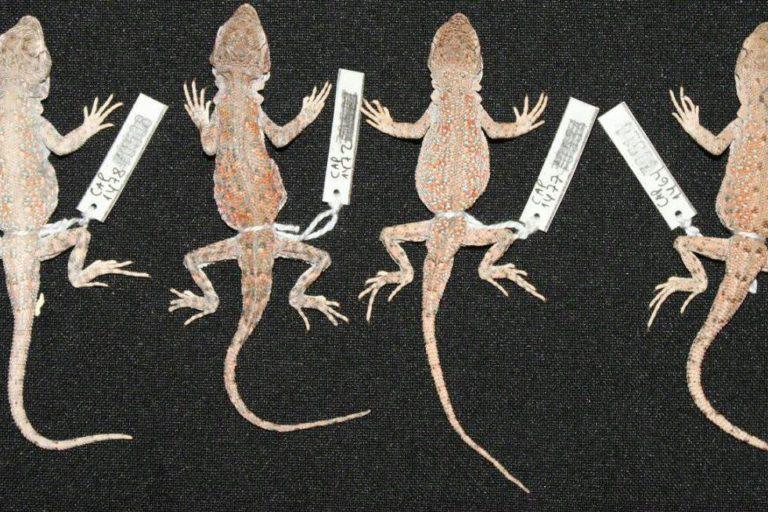 nuevas especies en perú La Liolaemus chiribaya fue encontrada en Moquegua. Foto: César Aguilar.
