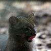 Un yaguarundi (Puma yagouaroundi). Foto: Rhett A. Butler / Mongabay