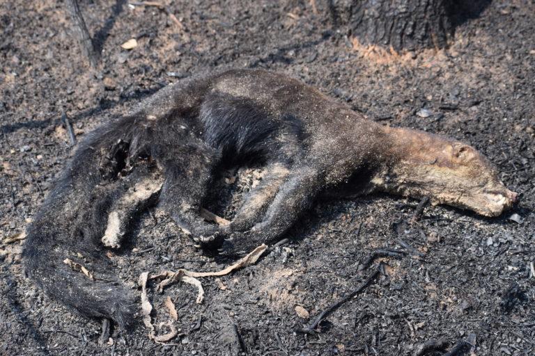 Imágenes de animales calcinados se encuentran en los bosques devastados por los incendios. Foto: Nativa.