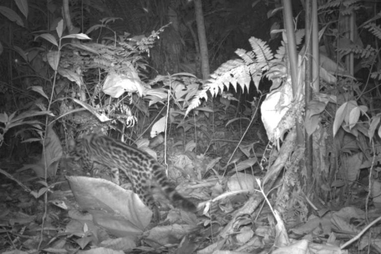 La presencia de un felino en el bosque de Shambuyacu asombró a la comunidad. Foto: Conservación Internacional.