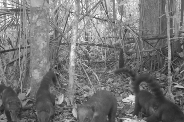 Un total de 25 especies se han logrado visualizar a través de las cámaras trampa. Foto: Conservación Internacional.