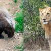 Un puercoespín africano y un león. Composición a partir de fotos de Eric Kilby y Rhett A. Butler/Mongabay
