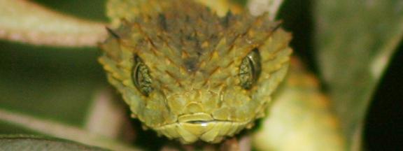 Una serpiente Atheris sp. en Uganda. Foto: Rhett A. Butler / Mongabay