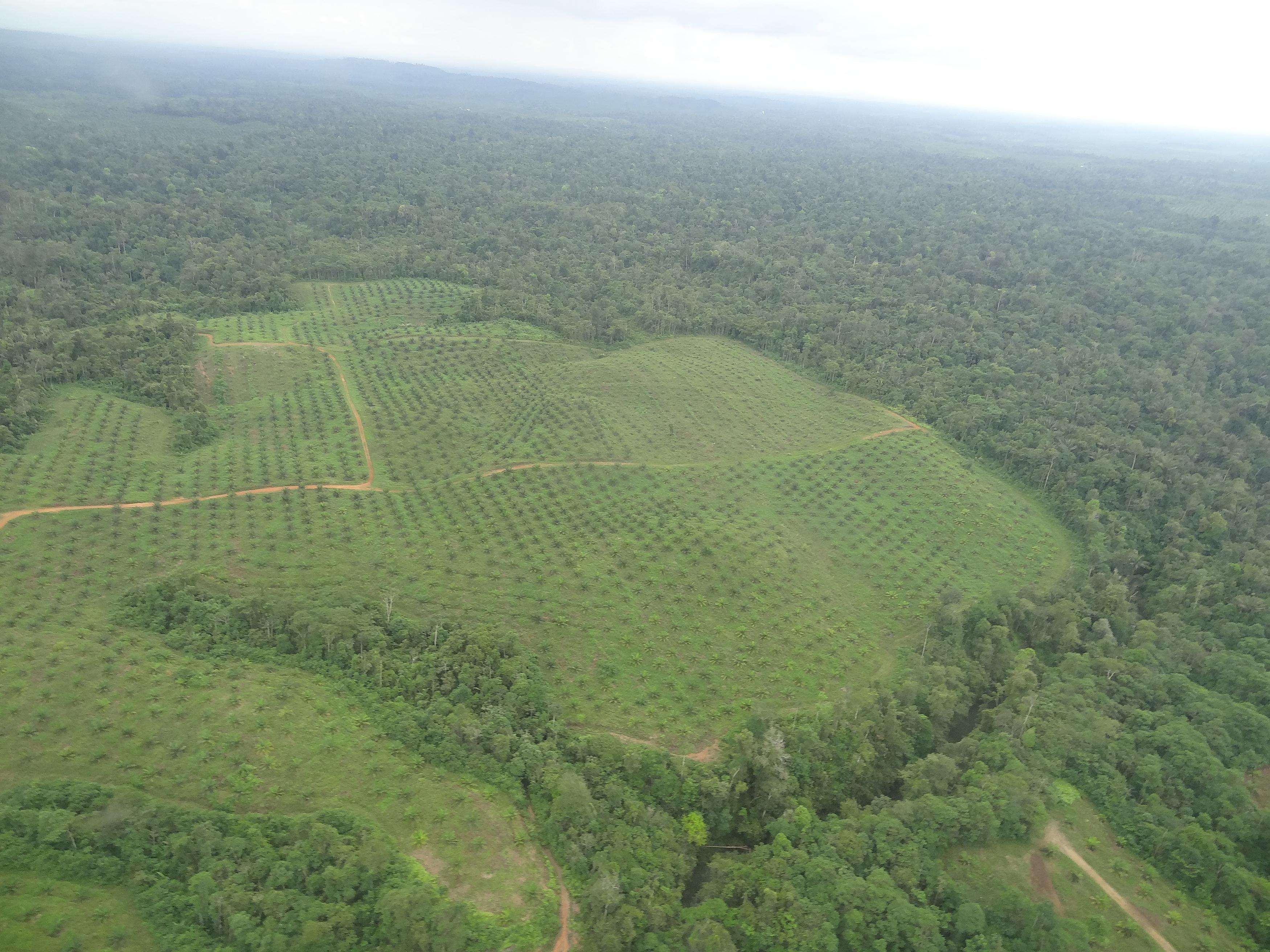 Palma de aceite en Ecuador. Vista aérea de la deforestación por palma en la provincia de Esmeraldas. Foto: Eduardo Rebolledo.
