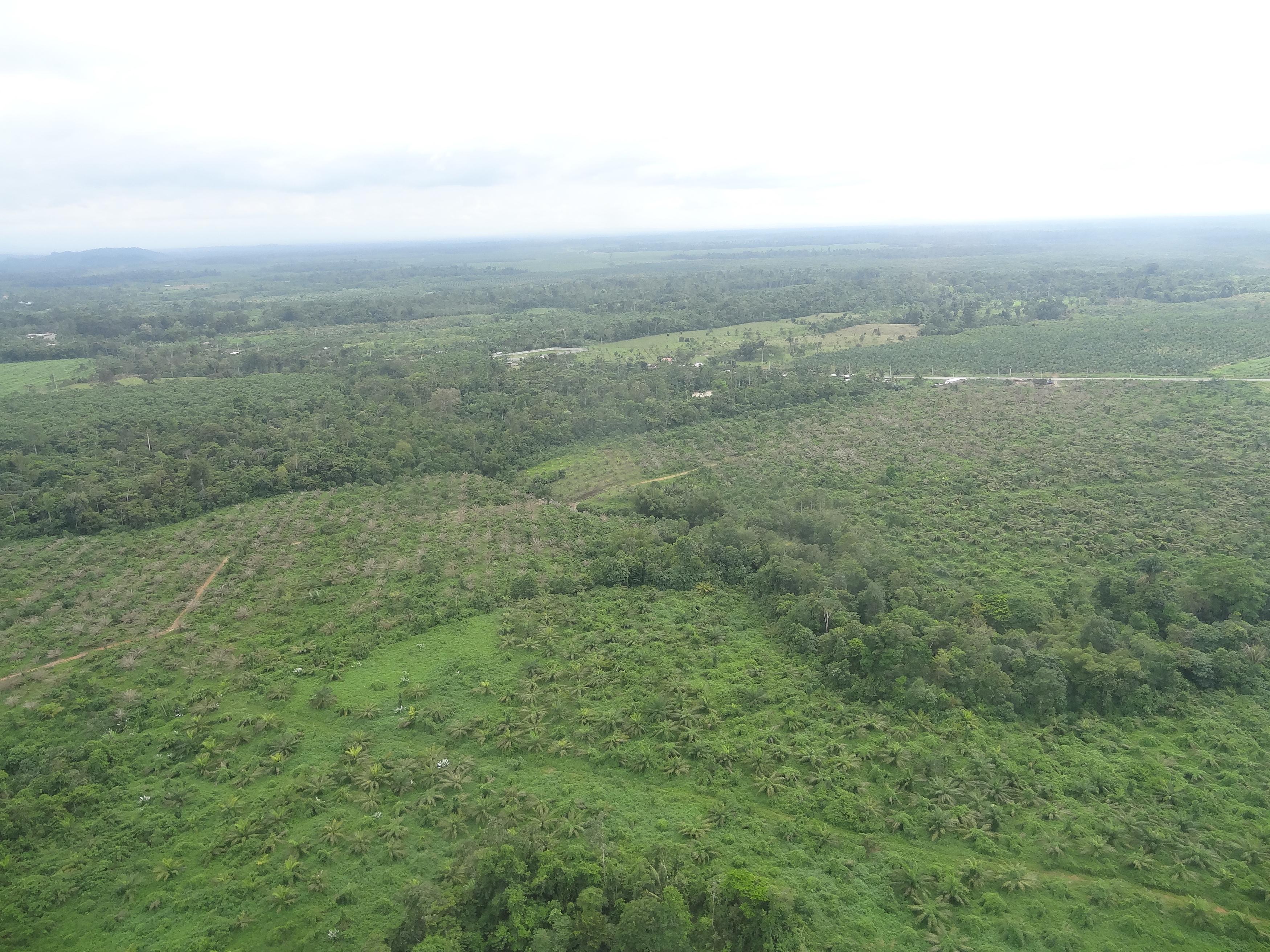 Palma de aceite en Ecuador. La palma se asocia como uno de los agentes deforestadores de los bosques en la provincia de Esmeraldas. Foto: Eduardo Rebolledo.
