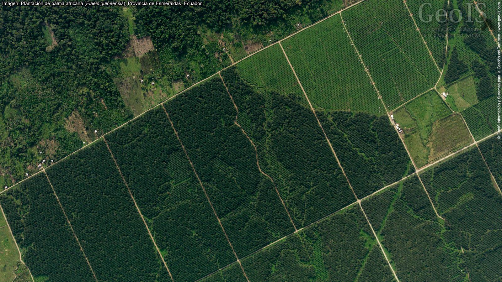 Palma de aceite en Ecuador. Imagen satelital de plantaciones de palma africana para analizar cambios de cobertura vegetal en San Lorenzo. Foto: Rodrigo Sierra.
