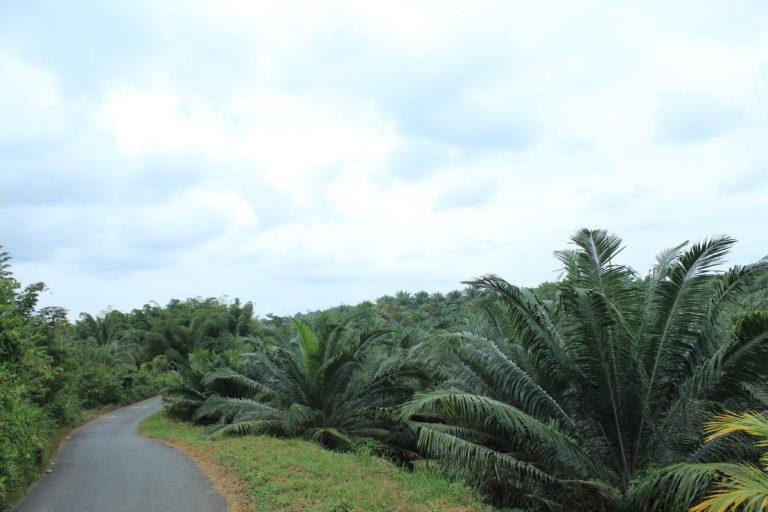 Palma de aceite en Ecuador. Cultivos de palma en San Lorenzo. Foto: Eduardo Rebolledo.