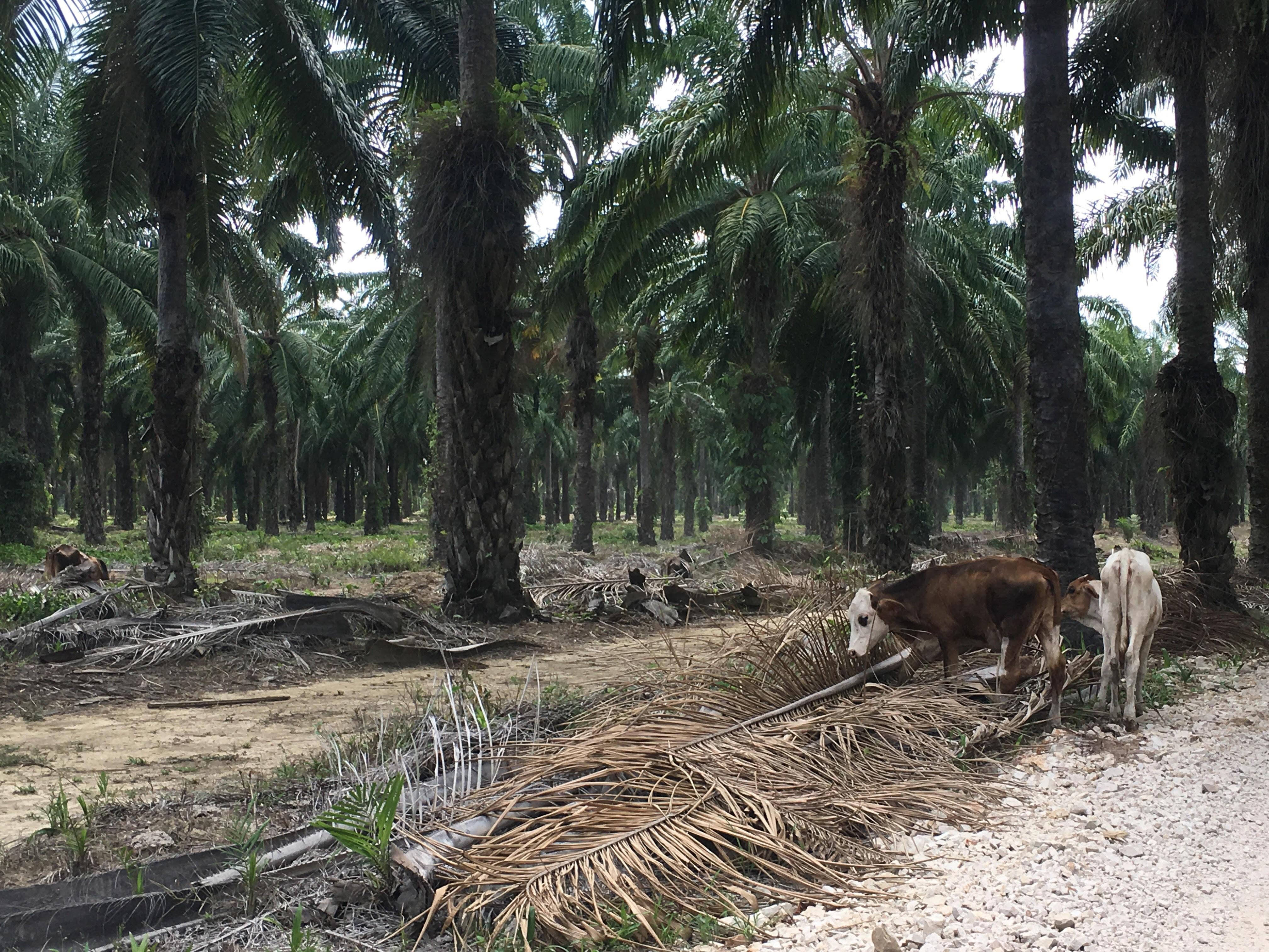 Palma de aceite en Honduras. Cientos de hectáreas de palma africana son cultivadas en el Valle de Lean. Foto: Lesly Frazier.