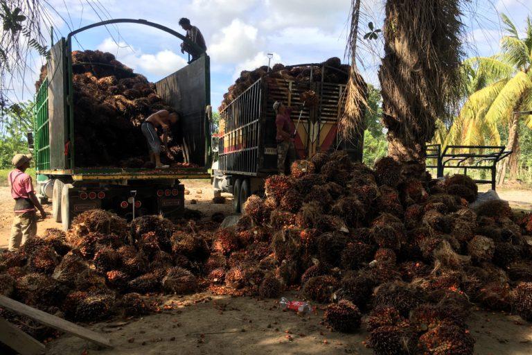 Palma de aceite en Honduras. Un promedio de 14 camiones diarios salen de Paris de Lean cargados con la fruta de la palma. Foto: Francois Ligeard.