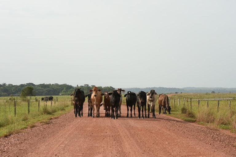 Palma de aceite en Colombia. En las llanuras de Puerto Gaitán también es común la ganadería. Foto: Álvaro Avendaño.