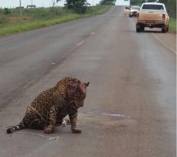 Un jaguar desorientado fue visto recientemente por un lugareño en las inmediaciones de sembradíos de palma de aceite. Foto: archivo particular.