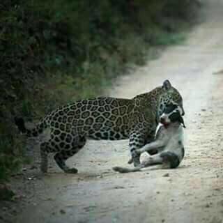 Cuentan los lugareños que los jaguares, a falta de sus presas habituales, comenzaron a alimentarse de otras especies. Foto: archivo particular.