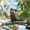 Un mono guariba o mono aullador marrón (Alouatta guariba) en Brasil. Foto: Rhett A. Butler / Mongabay