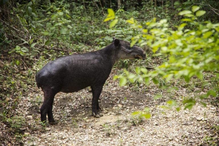 Conservación de la selva maya. Los tapires centroamericanos son algunas de las especies que más peligro corren por los efectos del cambio climático. Foto: Jorge Rodríguez.