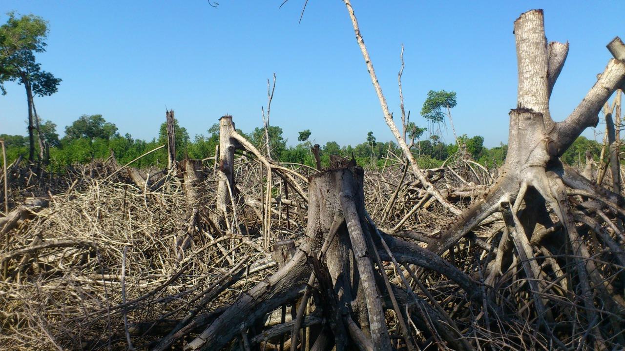 Conservación en Guatemala. Así lucía un área talada de mangle en el municipio de Iztapa, departamento de Escuintla, Guatemala. Foto: César J. Zacarías-Coxic/INAB.