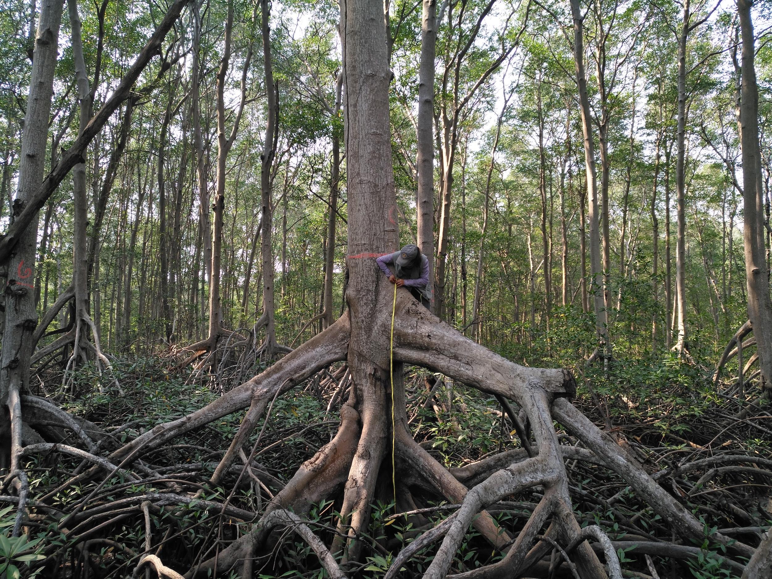 Conservación en Guatemala. Técnico forestal mide las raíces de un mangle rojo en playa Las Lisas del departamento de Santa Rosa, Guatemala. Foto: César J. Zacarías-Coxic/INAB.