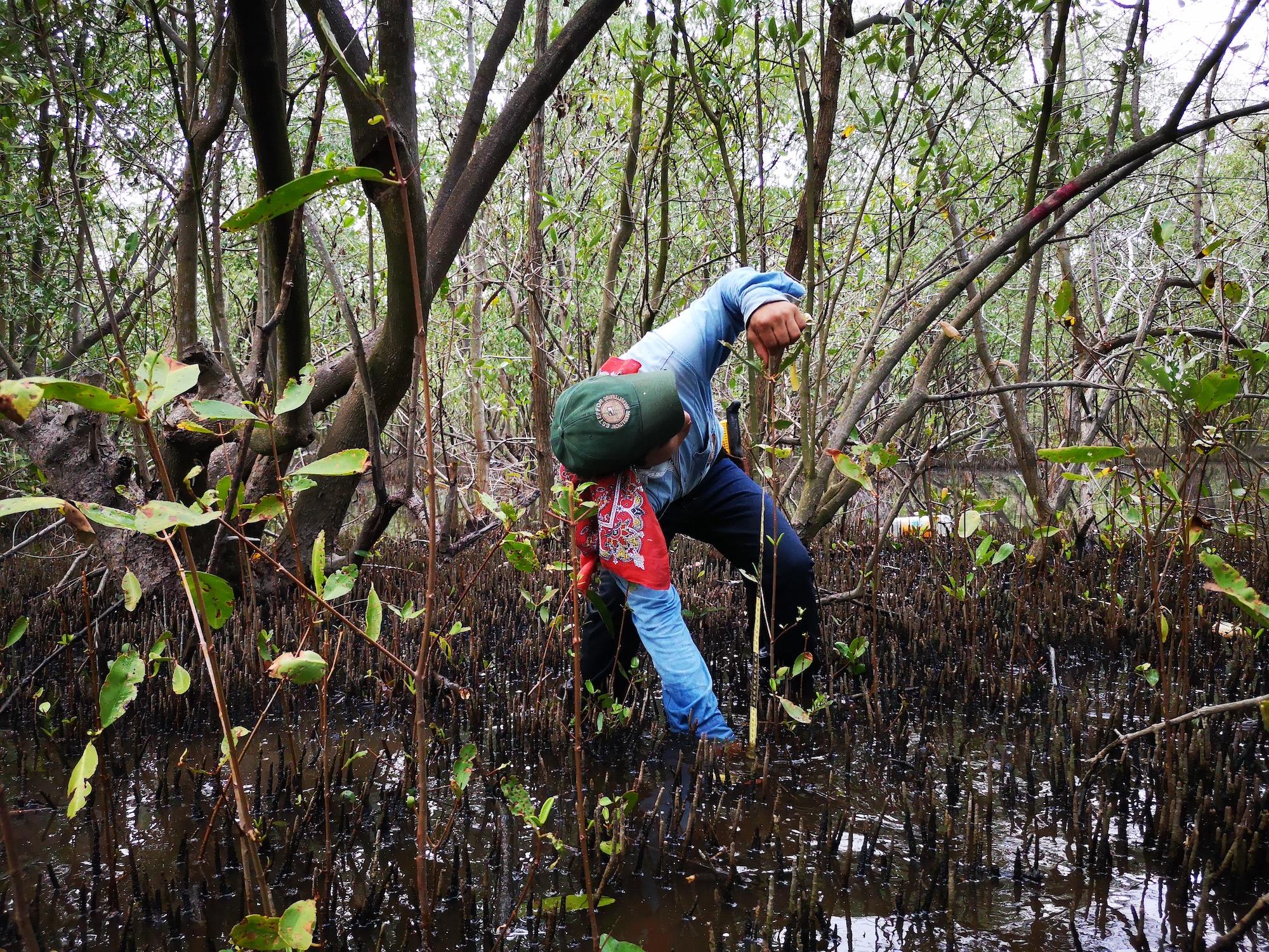 Conservación en Guatemala. Voluntario que ayuda a medir el tamaño de las plantas obtenidas por regeneración natural. Foto: César J. Zacarías-Coxic /INAB.