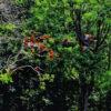 Conservación en Honduras. Guacamayas vuelan en los bosques de Copán. Foto: Eduardo Colocho.