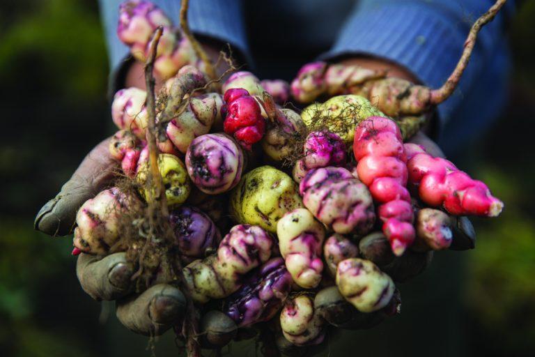 premios áreas protegidas Tubérculos andinos se cultivan en Cuyocuyo, la primera Zona Agrobiodiversa del Perú. Foto: WCS.