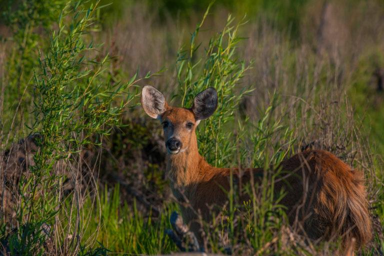 ciervo de los pantanos argentina