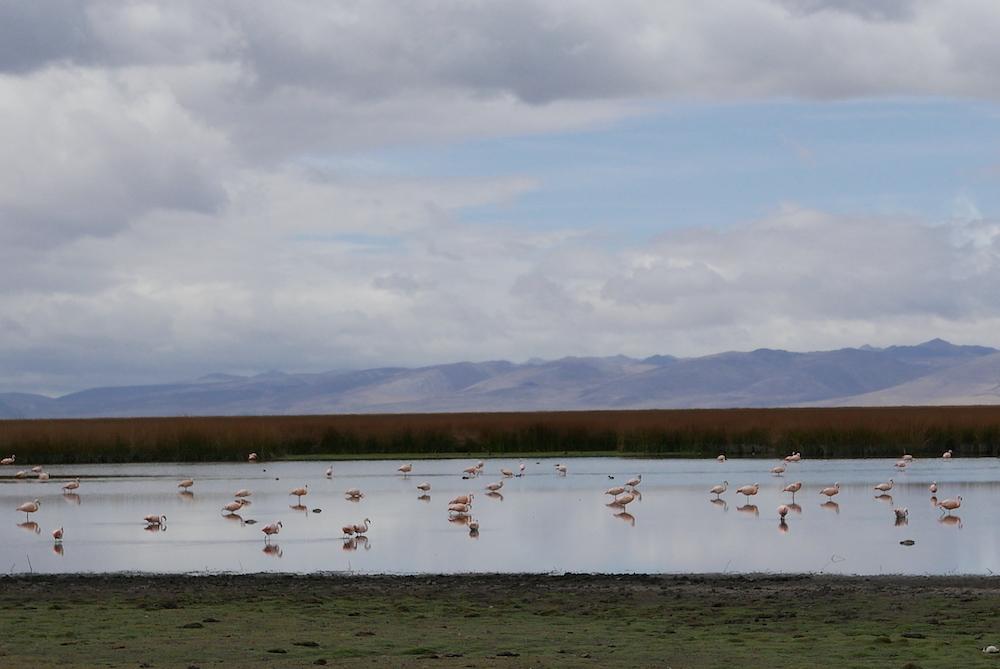 maca en Perú