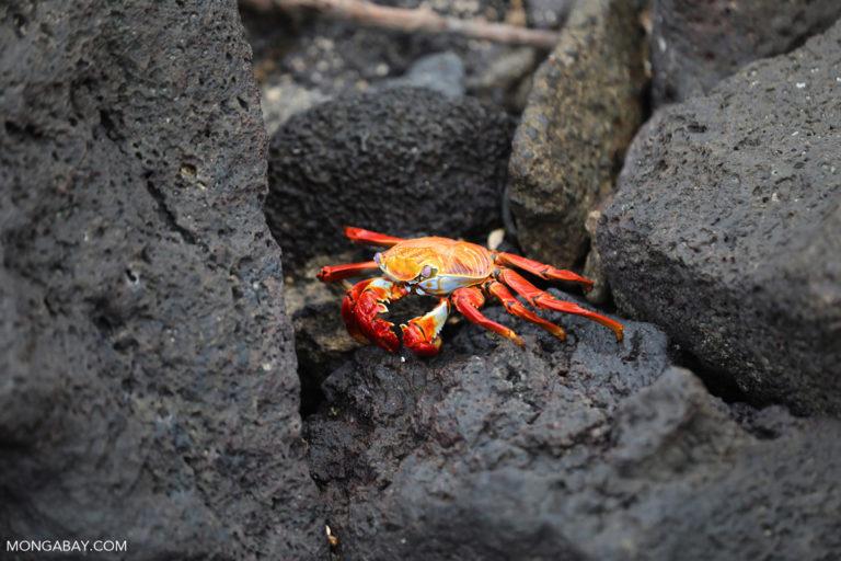 Cangrejo zayapa o abuete negro (Grapsus grapsus). Foto: Rhett A. Butler / Mongabay