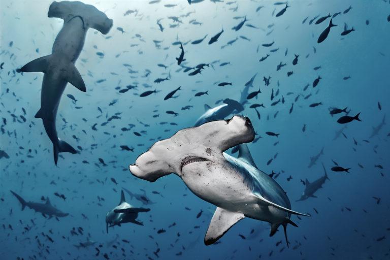 Según el expediente de creación, la reserva Dorsal de Nasca alberga más de 1000 especies. Foto: Oceana.