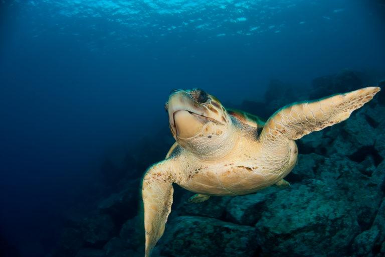 Dorsal de Nasca La tortuga boba (Caretta caretta) habita en la zona de la reserva dorsal de Nazca. Foto: Oceana.