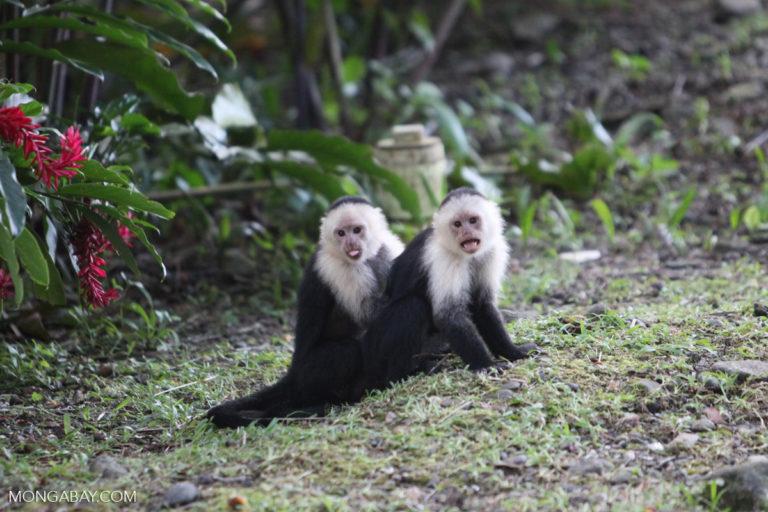 Monos carablanca (Cebus capucinus) en la isla Gorgona, Colombia. Foto: Rhett A. Butler.