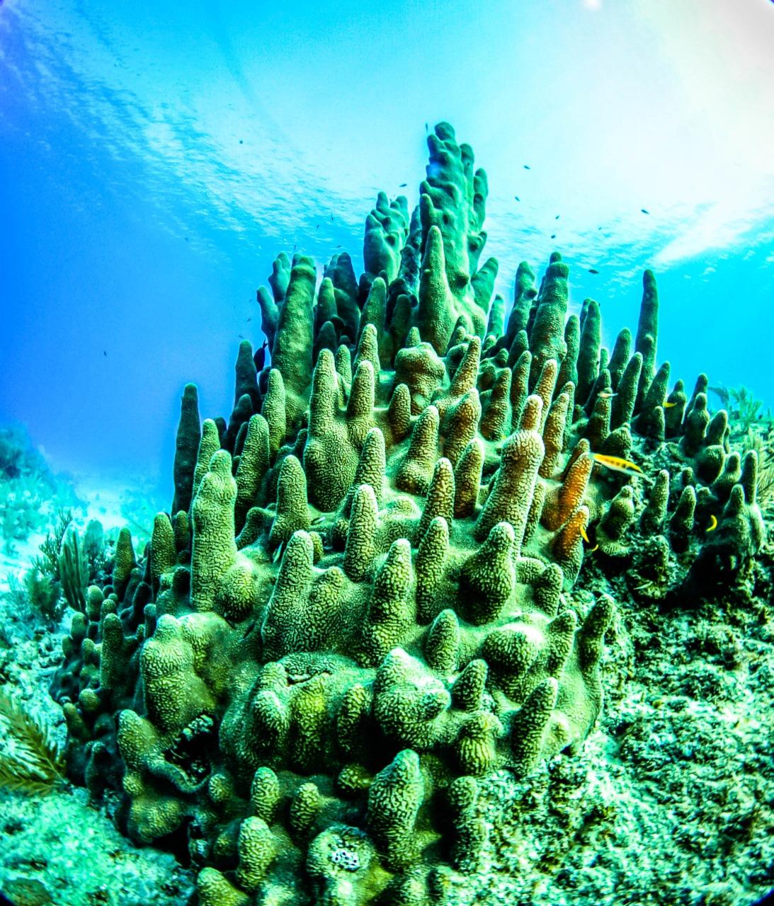 Coral caribe mexicano