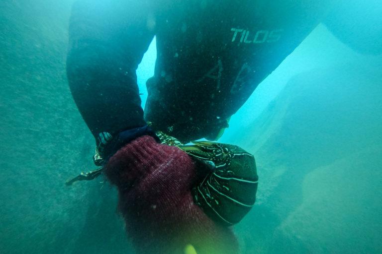 Los pescadores capturan la langosta viva, usando sus manos. De esta manera, una vez que la suben a la embarcación pueden comprobar si la pesca cumple las características necesarias, y de lo contrario, devolverla viva a su hábitat natural. Foto: Esteban Barrera ©