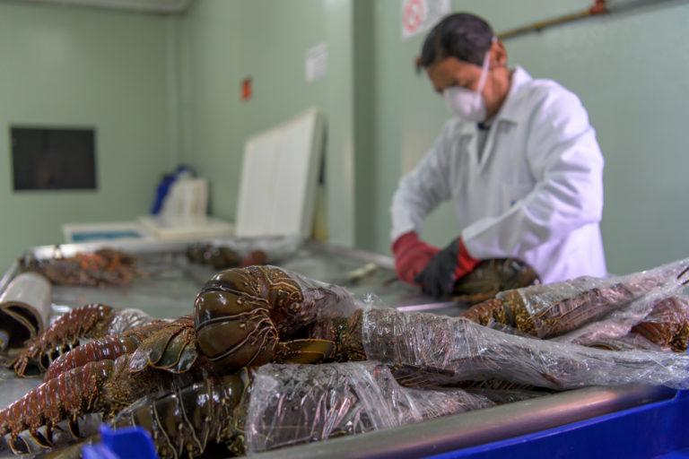Después de monitoreo en los muelles, la langosta es enviada a la Cooperativa de Producción Pesquera Artesanal Galápagos (Copropag) donde se realiza el embalaje previo a su exportación. Foto: Esteban Barrera ©